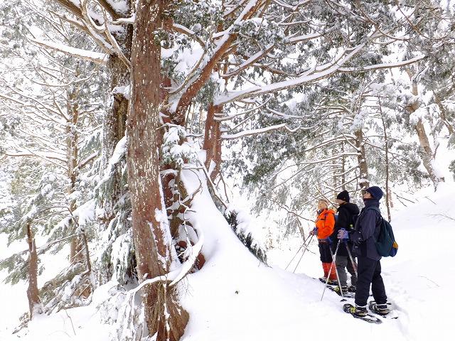 クロベの大木の前で説明を受ける参加者