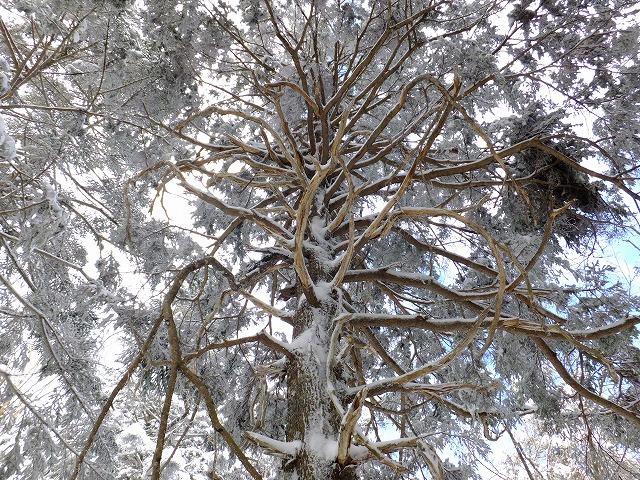 クロベの枝ぶり