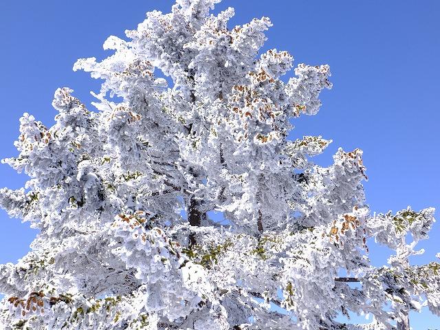 トウヒの果実についた雪 2020.2.24