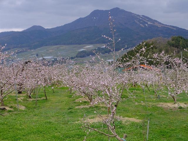 山ノ内町の桃畑 2017.4.26