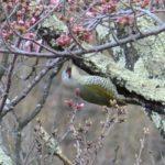 またまた、アオゲラ撮れた 梅の花つき 2020.4.15
