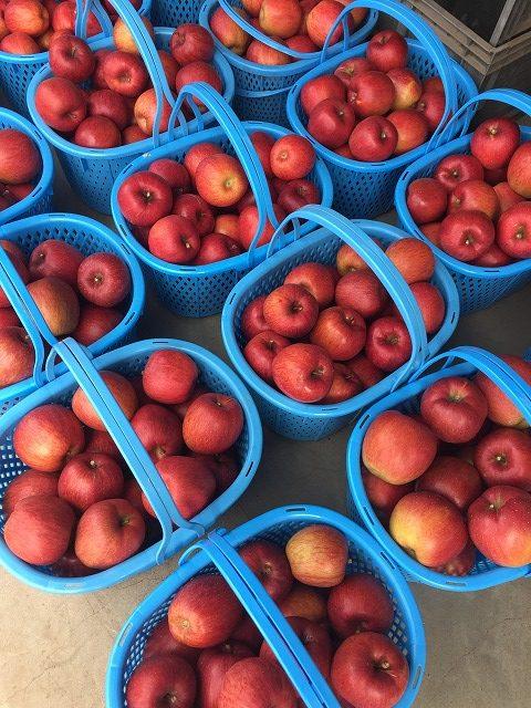 収穫したばかりのりんご
