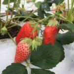日本の農薬残留基準は世界一基準が緩いのか