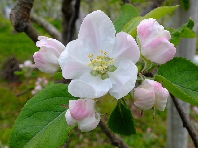 りんごの花 20210425