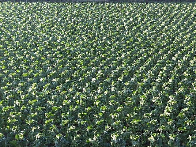 白菜畑 20141206