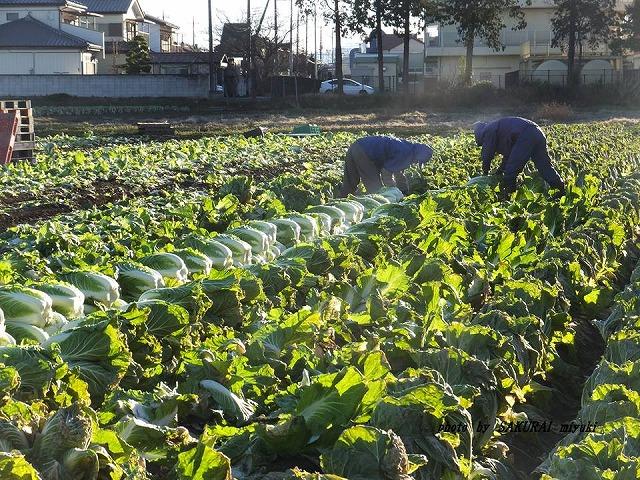 白菜収穫 20150107