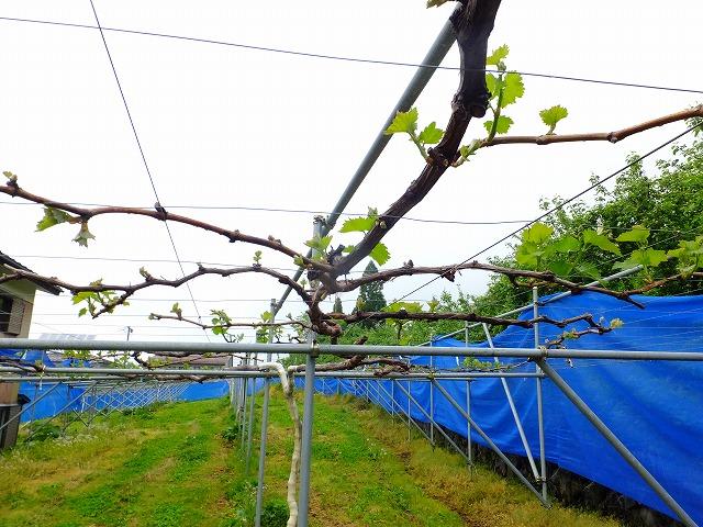 ぶどう畑全体 2021.5.19