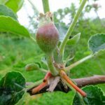 クラウドファンディング残り2日、りんごは摘果作業中