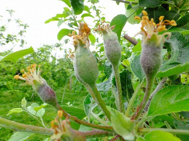 摘果前のりんごの赤ちゃん 2021.5.19
