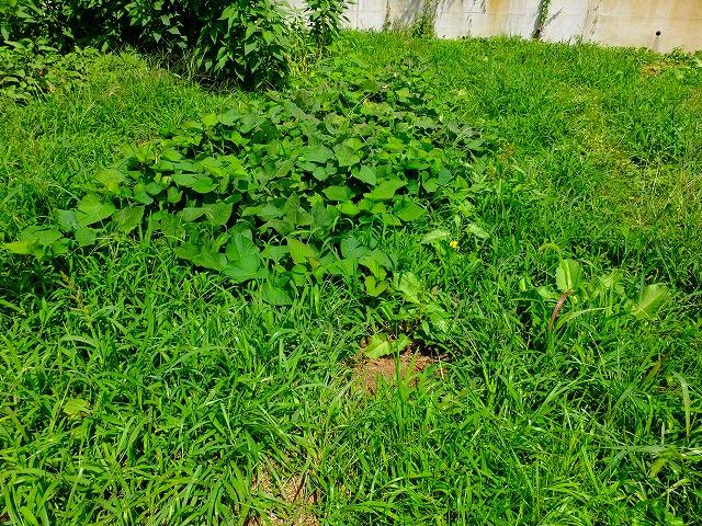 雑草だらけのサツマイモ畑