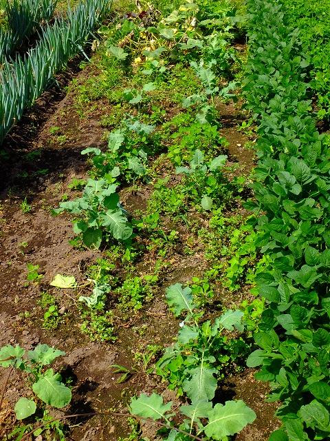 ブロッコリの間に生えてきた雑草