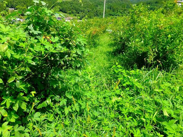 雑草だらけのブルーベリー畑