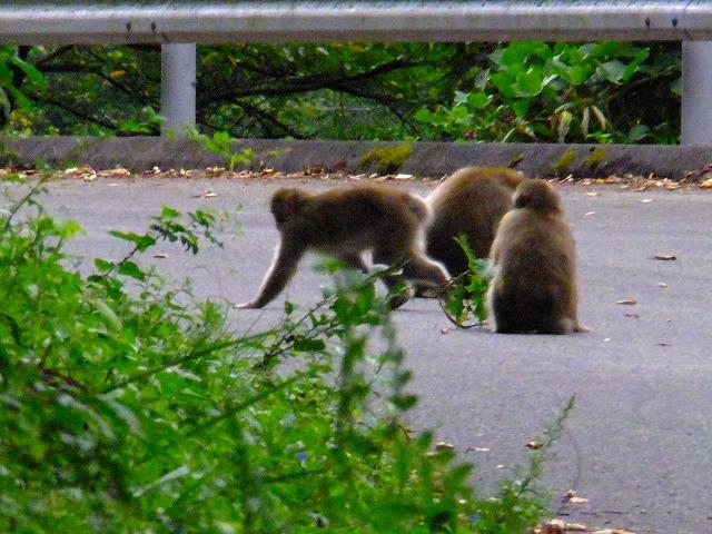 道路で遊ぶ猿