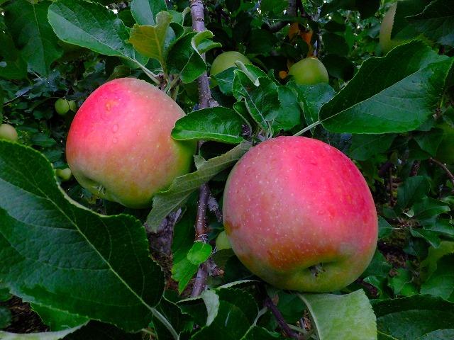 りんごの果実