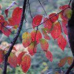 ミズキの紅葉 2015.10.27