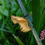 オキクムシ (お菊虫) ジャコウアゲハ蛹 2015.9.13
