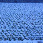 雪の白菜畑  2016.1.18