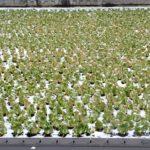 雪の白菜畑  2016.1.30