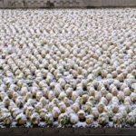 雪の白菜畑  2016.2.25