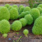 トトロの集団のような緑のコキア(ホウキグサ)  2015.6.15 栃木県小山市