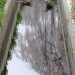 カルガモ 枝垂れ桜の水鏡とともに  2015.4.1 栃木県小山市