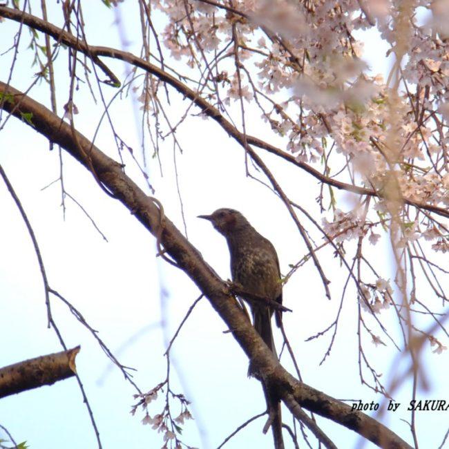 枝垂れ桜とヒヨドリ  2015.4.2