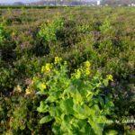 ホトケノザに占領された白菜の花  2015.4.2  栃木県小山市