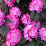 シャクナゲ園芸種  2015.4.3  栃木県小山市