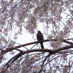 枝垂れ桜とヒヨドリ  2015.4.3  栃木県小山市