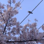 桜とムクドリ  2015.4.6  栃木県小山市