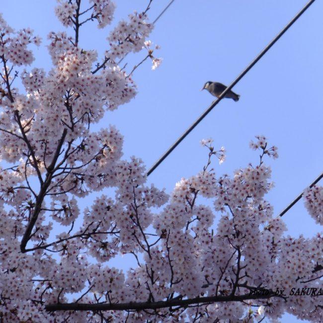 桜とムクドリ  2015.4.6