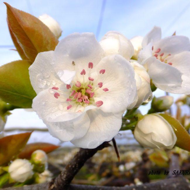 ナシの花  2015.4.9