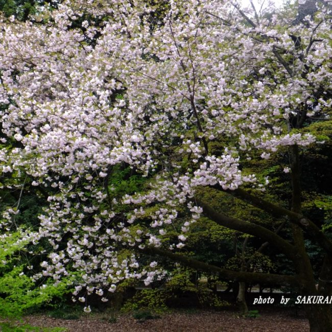 新宿御苑の桜  2015.4.10