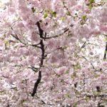 おもいがわ桜  2015.4.15  栃木県小山市