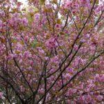 まだまだ桜  2015.4.16  栃木県小山市