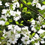 ハナミズキ  2015.4.24  栃木県小山市