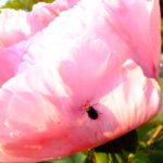 クロウリハムシ  2015.4.26  栃木県小山市