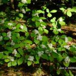 雑木林のなかの木に咲く白い花(名前不明) 2015.5.6 栃木県小山市