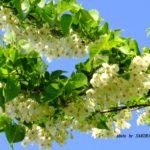 エゴノキの花 2015.5.13 栃木県小山市