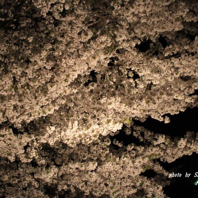 ご近所さんの夜桜  2015.4.9