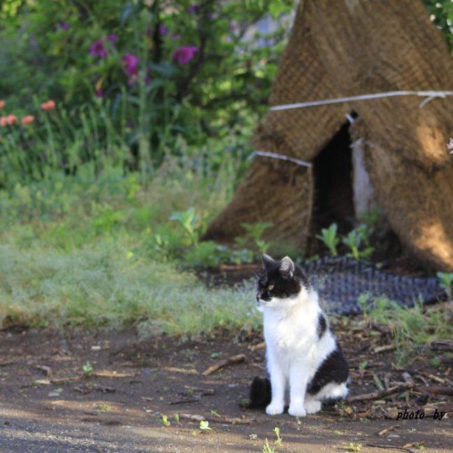 ネコ 竪穴式住居前で考える 2015.5.13