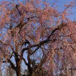もうすぐ満開のシダレザクラ  2015.3.30  栃木県小山市