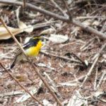 緑少ない森を動く黄色い物体キビタキ  2012.5.5 長野県戸隠森林植物園