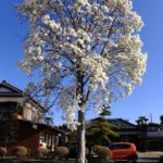 ハクモクレン  2015.3.24 栃木県小山市