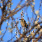 ウメにヒヨドリ 2015.3.13 栃木県小山市