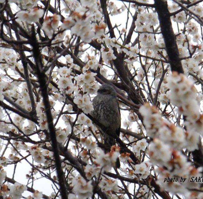 ヒヨドリ 2015.3.19