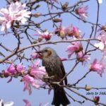ベニコブシの花を食べるヒヨドリ 2015.3.21 栃木県小山市