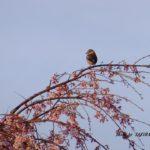 枝垂れ桜とカワラヒワ  2015.3.29 栃木県小山市