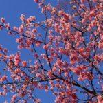 コヒガンザクラ 2015.3.26  栃木県小山市