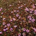 まだ咲いているラクウツバキ 2015.3.21 栃木県小山市